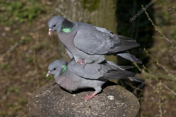 Kopulerande duvor